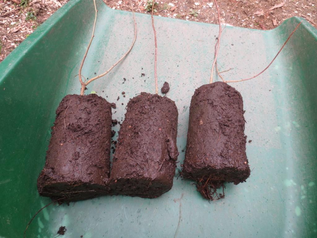 これが保育ブロックで育った直根の苗