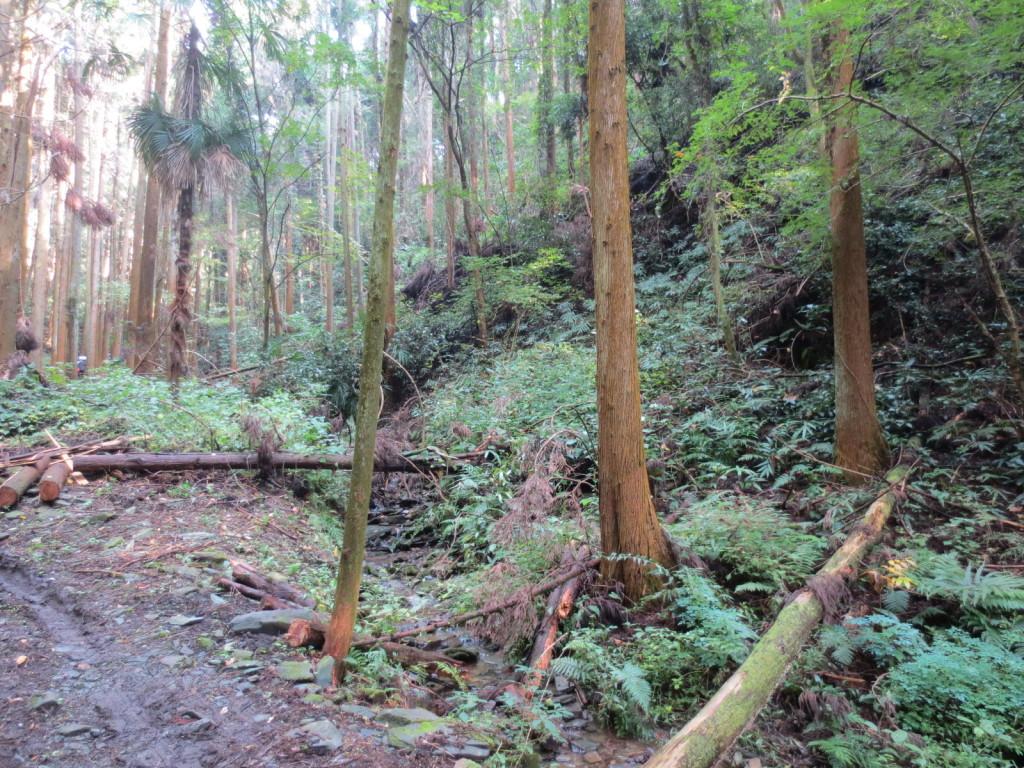 雪の為に倒れた沢沿いの杉の木